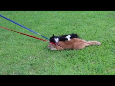 Човекот се обидува да ги шета своите мачки како кучиња