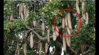 Cứ tưởng ai treo xúc xích lủng lẳng trên cây cho tới khi đến gần