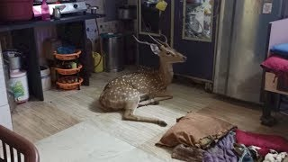 Chased by leopard, deer crashes through roof in Mumbai slu..