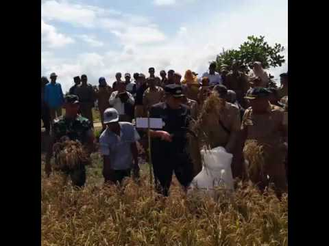 Bupati Rusman Ali lakukan panen Raya Padi di Desa Madura