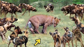 True Battle Of Wild Dogs And Lions | Cheetah vs Antelope, Honey Badger