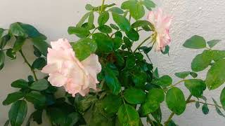Winter blooms in rose plant , lots of flowers 💐 3 year old plant
