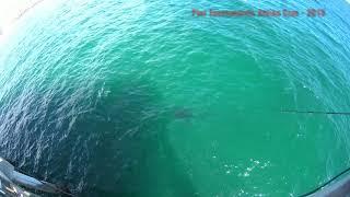 Whale Shark at City Pier-Panama City Beach FL