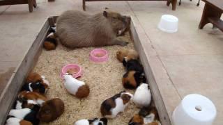 Capybara nap with Guineapigs カピバラとモルモットのごすい