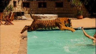 Swimming With A Tiger
