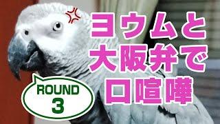 大型インコ激怒のおしゃべり。ヨウムと大阪弁で口喧嘩#3鳥がしゃべる