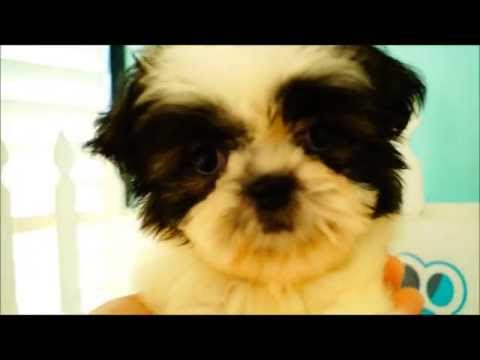 Shih Tzu Puppies for Sale!