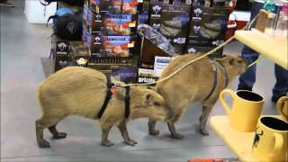 Capybaras Romeo and Tuff'n Go Shopping  カピバラロミオゴーショッピング