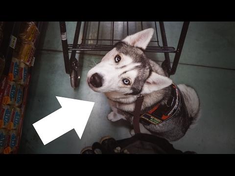 Vlog | Siberian Husky Service Dog Shopping Trip