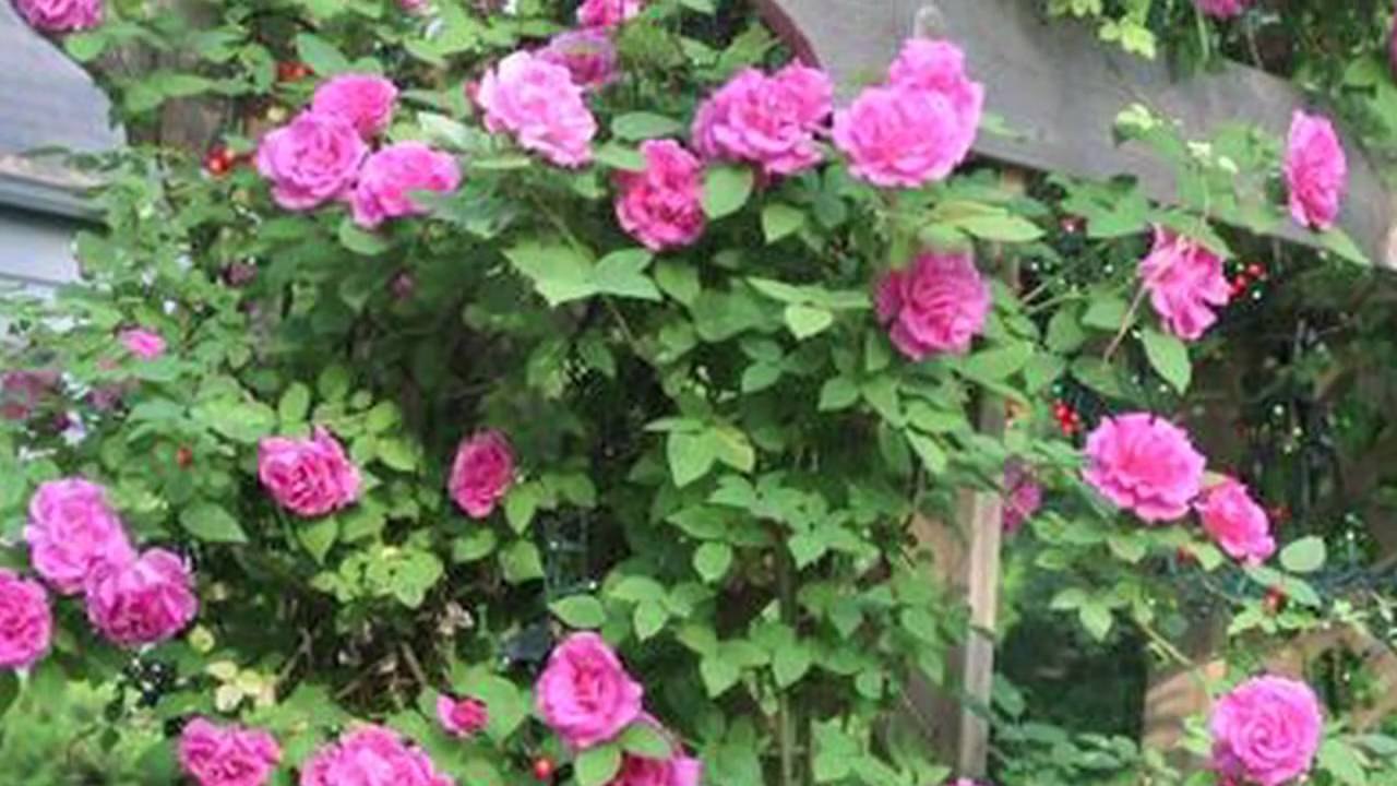 Roses In Garden: Growing Roses : How To Plant Climbing Roses