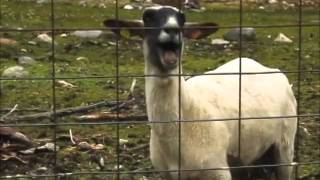 10 Hours of The Screaming Sheep