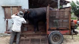 Bred Cows Spanish and VietNam- phối giống bò lai Tây Ban Nha vs VietNam