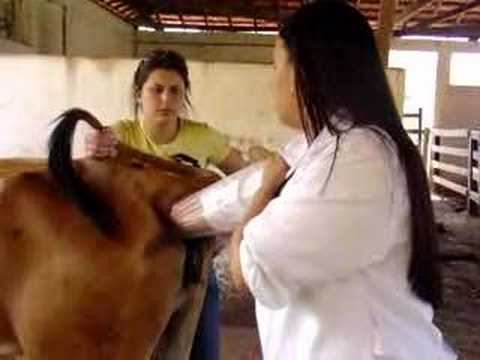 Rektalni pregled krave
