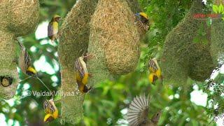 Amazing Weavers bird Nest - 1   સુગરી માળો કેવી રીતે બનાવે છે.