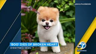 Boo the Pomeranian dies of broken heart, owners say | ABC7