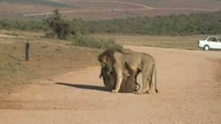 Lions Kill two Buffalo in Addo reserve,South Africa