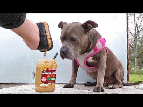 Pitbull Gets Peanut Butter Kong, Makes A Huge Mess