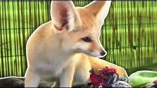 The smallest fox in the WORLD!