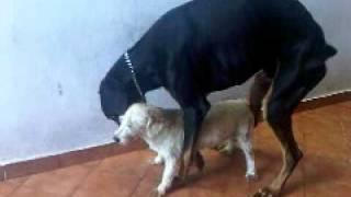 犬の交尾失敗。というよりエア状態になってます。