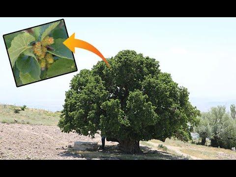Nevşehir'de bin yıllık dut ağacı meyve veriyor