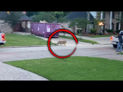 Is This Tiger Roaming a Neighborhood Someone's Pet?
