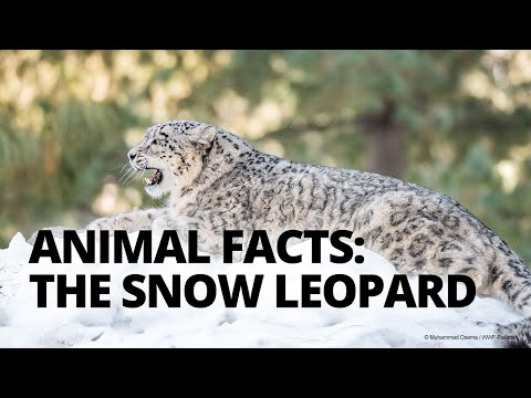 5 facts about snow leopards