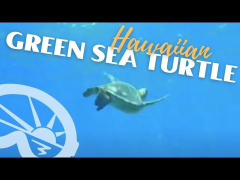 """Hawaiian Green Sea Turtle at """"First Cathedral"""" with Extended Horizons Scuba, Maui, Lanai"""