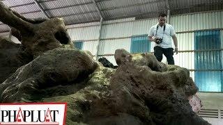 PLO - Cây cổ thụ hàng chục tỉ đồng tại Sóc Trăng