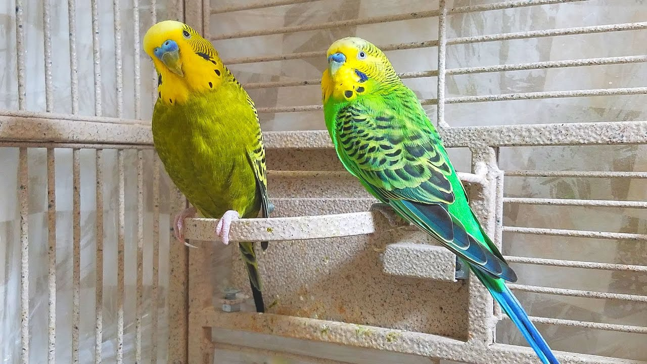 If your budgies don't chirp, playing this video will help lonely birds  start to chirp