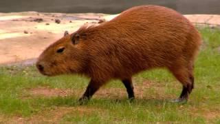 Capybara World's Largest Rodent - Cincinnati Zoo