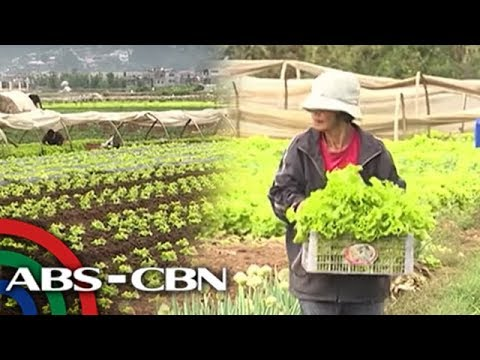 Benguet farmers welcome rain after drought wilts crops