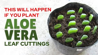 Planting Aloe Vera From Leaf Cuttings