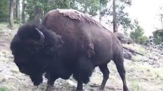 Little kid gets rammed by a buffalo