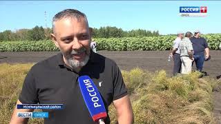 На урожай масличных культур в Исилькульском районе накинулись стаи капустной моли