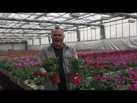 Hängpelargoner, trädgårdsmästare Jönsson hjälper dig välja sort efter dina behov.