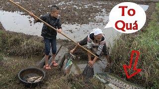 Cá Quả Đốt Rơm - Anh Em Tam Mao Tát Cạn Hố Nước Bắt Đầy Chậu Cá