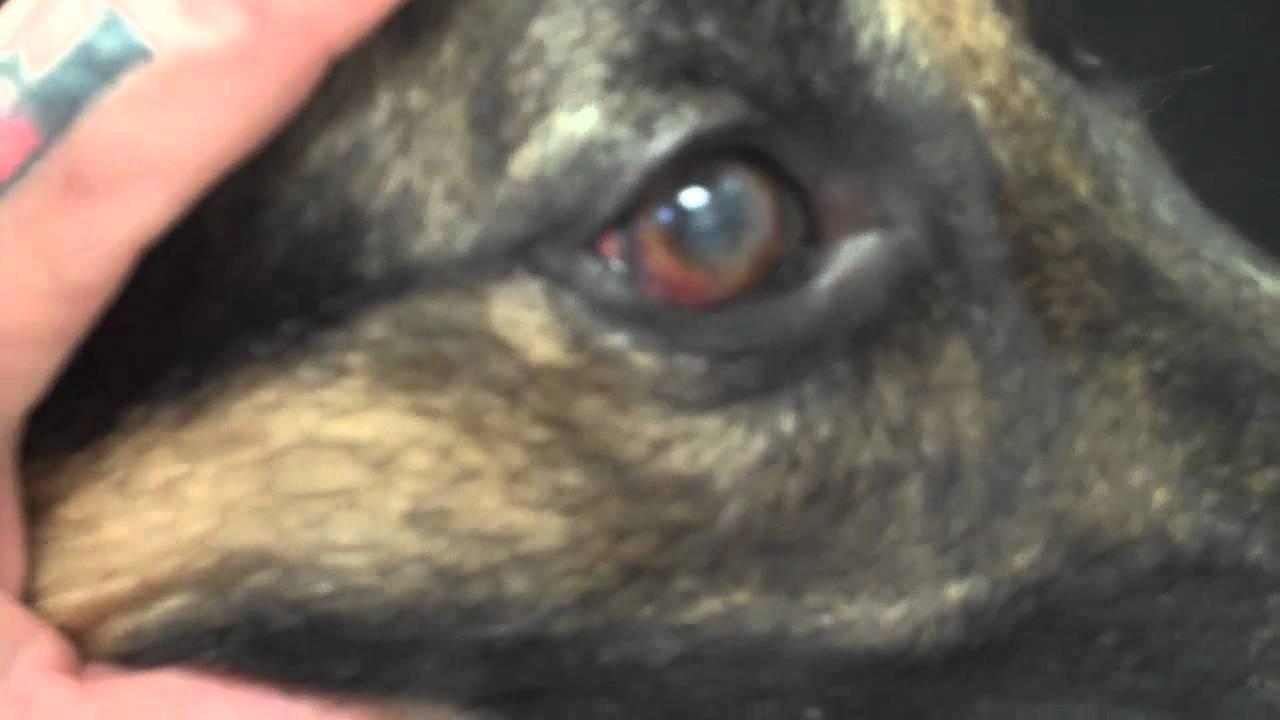 Pannus A Common Eye Problem Seen In The German Shepherd