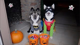 Dogs Go Trick or Treating on Halloween!
