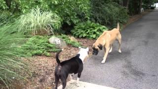 Pit bull vs Bull Mastiff
