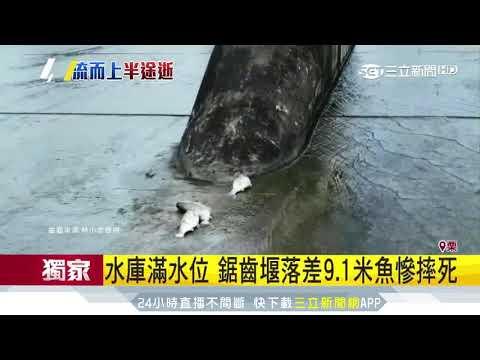 水庫滿水位 鋸齒堰落差9.1米魚慘摔死|三立新聞台