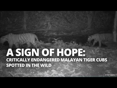 Endangered tiger cubs spotted by hidden cameras