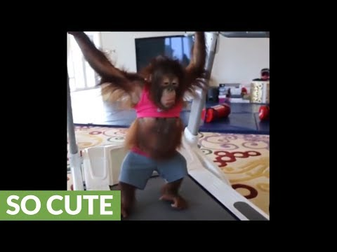 Orangutan youngster works out on treadmill
