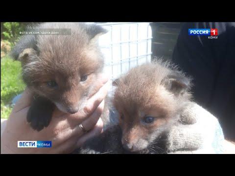 В Усть-Куломском районе местные жители нашли лисят