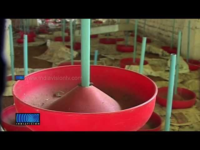 No Subsidy for Farms; Chicken Breeding Farmers at Crisis
