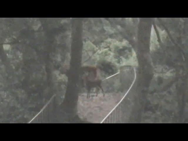 彰化田中森林步道 野生水鹿母子現蹤覓食