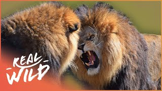 Male Lions Fighting | Wild Things Shorts