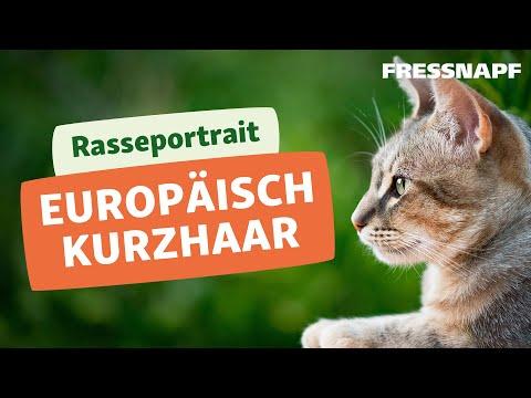 Rasseportrait: Europäisch Kurzhaar Katze