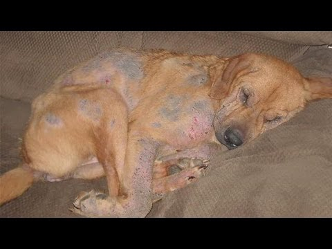 How To Treat Mange In Dogs Youtube