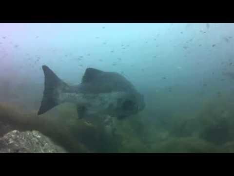 Black Sea Bass, Catalina