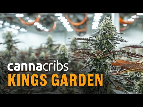 Coachella Valley 'King of Weed' Grows Highest THC % Cannabis in California